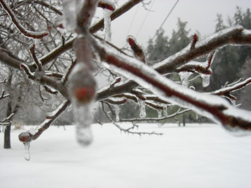 Ice on the apple trees
